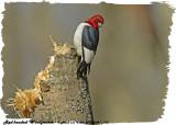 20130504-1 162 Red-headed Woodpecker.jpg