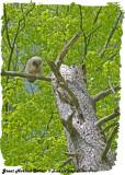 20130516 109 SERIES - Great Horned Owlet.jpg