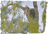 20130516 301 SERIES -  Great Horned Owlet.jpg