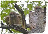 20130513 060 SERIES - Great horned Owlets.jpg