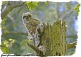 20130508 064 SERIES - Great Horned Owlet.jpg