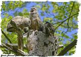20130508 603 SERIES - Great Horned Owls.jpg