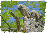 20130509 974 SERIES -  Great Horned Owls.jpg