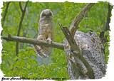 20130516 047  SERIES -  Great Horned Owlet.jpg