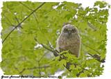 20130516 219 SERIES -  Great Horned Owlet.jpg