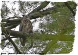 20130516 570  SERIES - Great Horned Owls 1r1.jpg