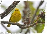 20130524 053 Yellow Warbler.jpg