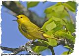 20130516 481 Yellow Warbler.jpg