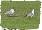 20130525 273 278 Herring and  Ring-billed Gulls.jpg