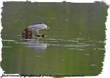 20130509 853 Black-crowned Night Heron & Friend.jpg