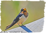 20130605 1058 Barn Swallow.jpg