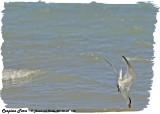 20130605 770 Caspian Tern.jpg
