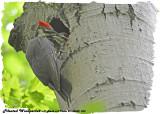 20130608 253 SERIES -  Pileated Woodpecker.jpg