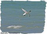 20130605 719  SERIES - Caspian Tern.jpg