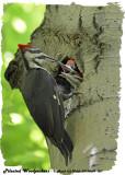 20130609 007 SERIES -  Pileated Woodpecker2.jpg