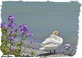 20130605 1372 Mute Swan.jpg