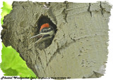 20130609 037 SERIES -  Pileated Woodpecker (juv).jpg