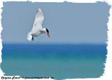 20130605 793 Caspian Tern.jpg