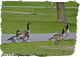 20130525 451 Brant  and  Canada Geese.jpg