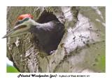 20130614 011 Pileated Woodpecker juv2.jpg