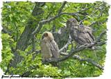 20130620 663 SERIES -  Great Horned Owlets 1c1.jpg