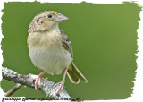 20130610 - 1 187 SERIES - Grasshopper Sparrow.jpg