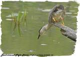 20130624 121 SERIES -  Black-crowned Night Heron.jpg