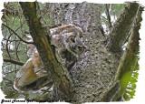 20130530 162 SERIES - Great Horned Owl2.jpg