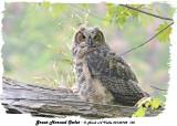 20130702 105 Great Horned Owlet3 1r1.jpg