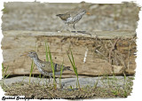20130621 300 291 Spotted Sandpipers.jpg