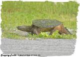 20130620 076 series - Snapping Turtle.jpg