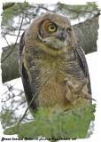 20130626 268 SERIES - Great Horned Owlet.jpg