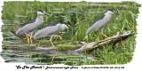 20130708 646, 649 & 650 SERIES - Black-crowned night Heron.jpg