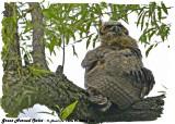 20130626 205 SERIES -  Great Horned Owlet.jpg