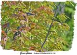 20130716 145 Green Heron.jpg