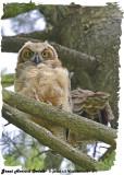 20130627 277 SERIES - Great Horned Owlets xxx.jpg
