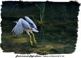20130719 495 SERIES -  Black-crowned night Heron3.jpg