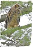 20130626 271 Great Horned Owlet.jpg