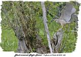 20130708 688 SERIES - Black-crowned Night Heron.jpg