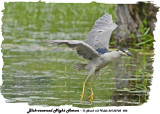 20130708 486 SERIES -  Black-crowned Night Heron.jpg