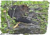 20130624 456 Beaver.jpg
