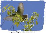 20130711 553 Eastern Kingbird.jpg