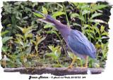 20130723 349 Green Heron.jpg