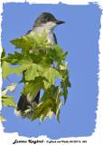 20130716 043 Eastern kingbird.jpg