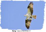 20130806 071 Osprey.jpg