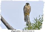 20130807 100 Peregrine Falcon2.jpg