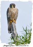 20130807 102 SERIES - Peregrine Falcon.jpg