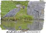 20130809 379 Great Blue Heron &  Muskrat.jpg