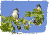 20130716 042 SERIES -  Eastern Kingbirds.jpg