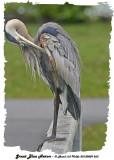 20130809 263 Great Blue Heronx.jpg